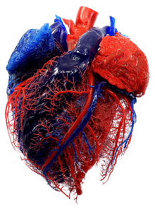 Heart blood vessel and heart chamber corrosion cast