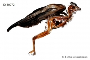 buzzard_raptor_anatomy_preparation_plastination_anatomy