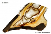 Pathologie des Pferdehufs mit Exostose und Konchenzyste
