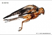 falcon_kestrel_anatomy