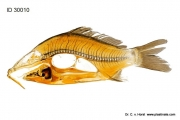 fish_carp_anatomy_physiology_heart_spine