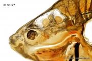 Fish head anatomy / Anatomie Kopf eines Fischs