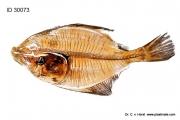 flunder_fish_flat_anatomy_butt_anatomie_praeparat_plastinat