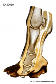 horse_foot_rotation_pathology_laminitis