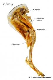 hund_hintergliedmaße_anatomisch_hueftgelenk_muskulatur