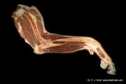 hundebein_anatomie_ellbogengelenk_pathologie_muskulatur_sehnen