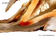phalanx_laminitis_inflammation_apex_laminae