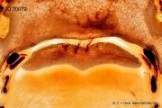 Strahlbein Navicular bone anatomy anatomie Pferd horse