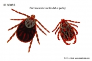 Dermacentor reticulatus (f/m) biological tick embedding