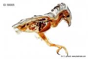 honey_bussard_pernis_apivorus_anatomy_larvae