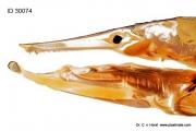 pike_hecht_fish_fisch_anatomy_zaehne