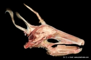 roe_deer_head_anatomy_brain_cns