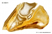 sole_perforation_laminitis_pathology