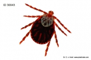 tick_dermacentor_reticulatus_arthropod_borne_disease_vector