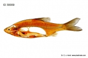 white_fish_anatomy_spine_physiology