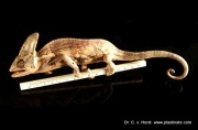 chameleon_anatomy_plastination
